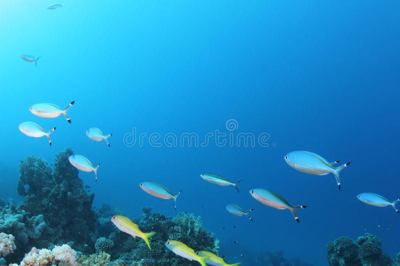 Fish on tropical coral reef. A school of fusiliers and goatfish on a tropical coral reef in the Red Sea stock photos