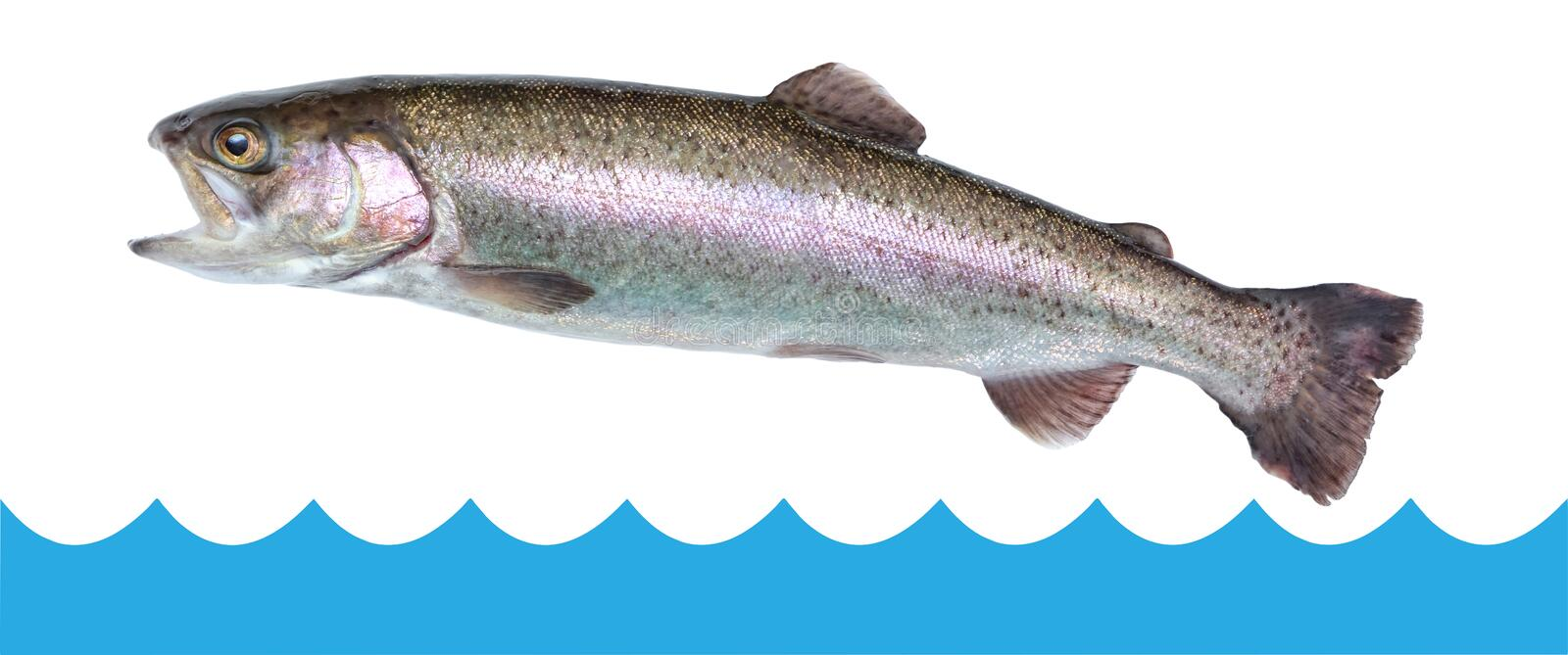 Fish trout jumping out of the water isolated, white background royalty free stock photo