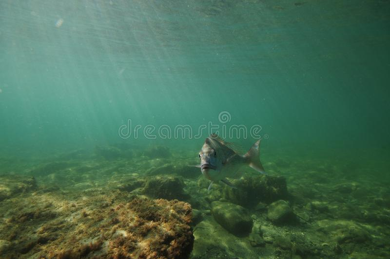 Fish turning face to camera royalty free stock photography