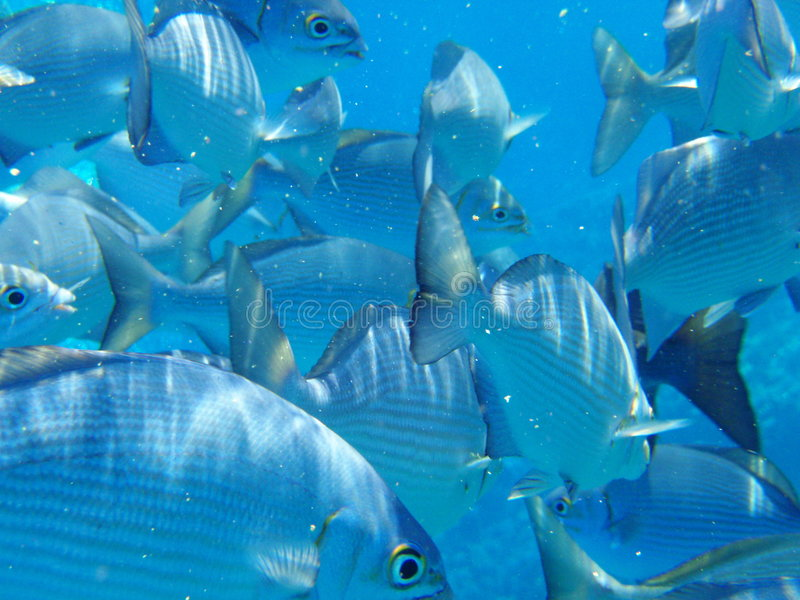 Fish underwater. In Maui all scramble for food thrown off the boat royalty free stock image