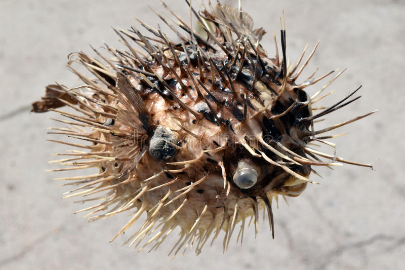 Fish-urchin royalty free stock photo
