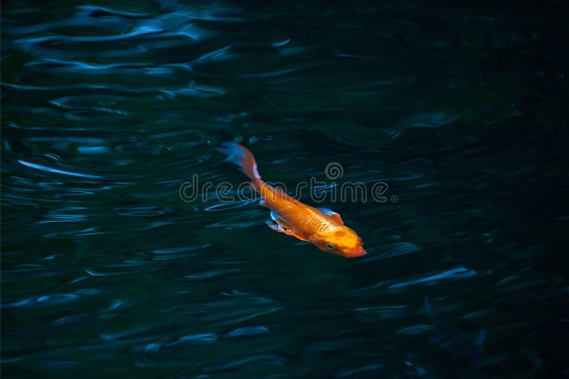 Fish in water royalty free stock photography