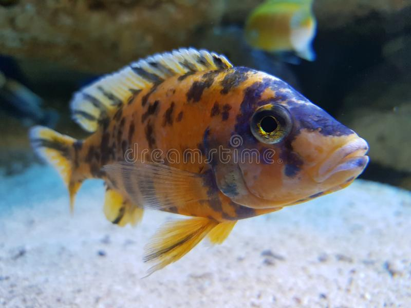 Fish in water tank. Animal, hobby, exitic, eye, sand royalty free stock photography