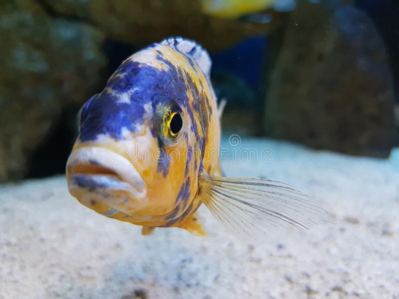 Fish in water tank. Animal, hobby, exitic, eye, sand royalty free stock images