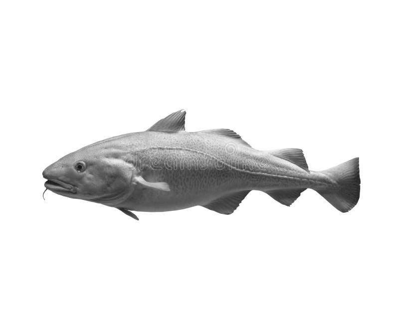 fish on white background, isolated stock photo