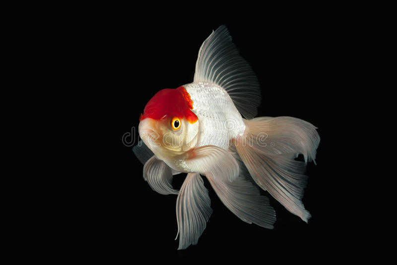 Fish. White Oranda Goldfish with red head on black background stock image