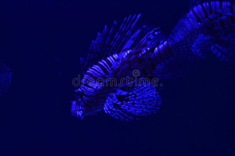 Fish-winged zebra floats deep in clean water stock photography