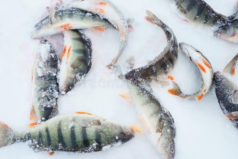 Fish on winter fishing royalty free stock image