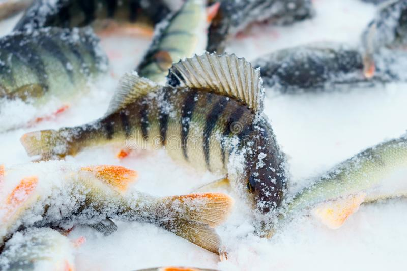 Fish on winter fishing stock images