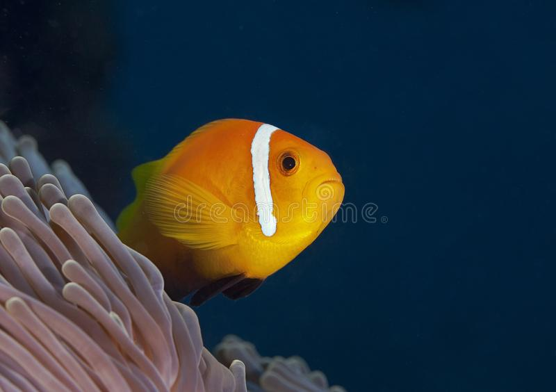 The fish in yellowish orange tones in the corals in the Maldives, as if the sky is swimming royalty free stock photography