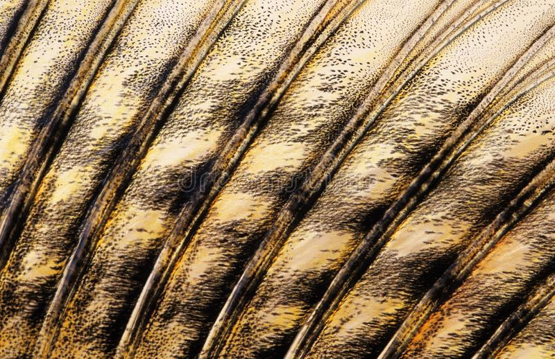 Fish Zander dorsal fin close-up. Fish, Zander/Pike-perch Sander lucioperca dorsal fin close-up. Part of the image appear a bit soft due to the mucus covering the royalty free stock photos