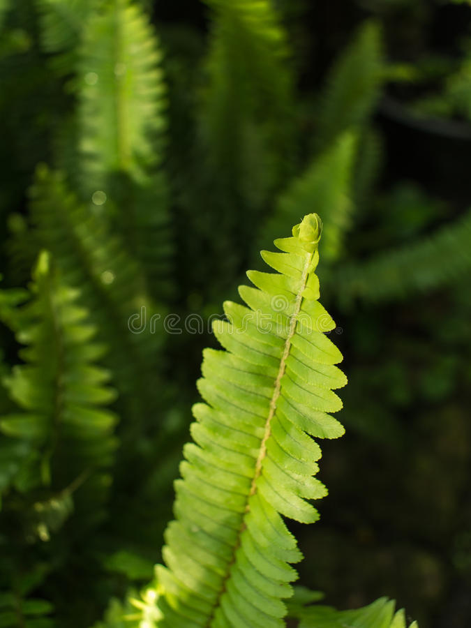 Fishbone Fern Leaf immagine stock libera da diritti