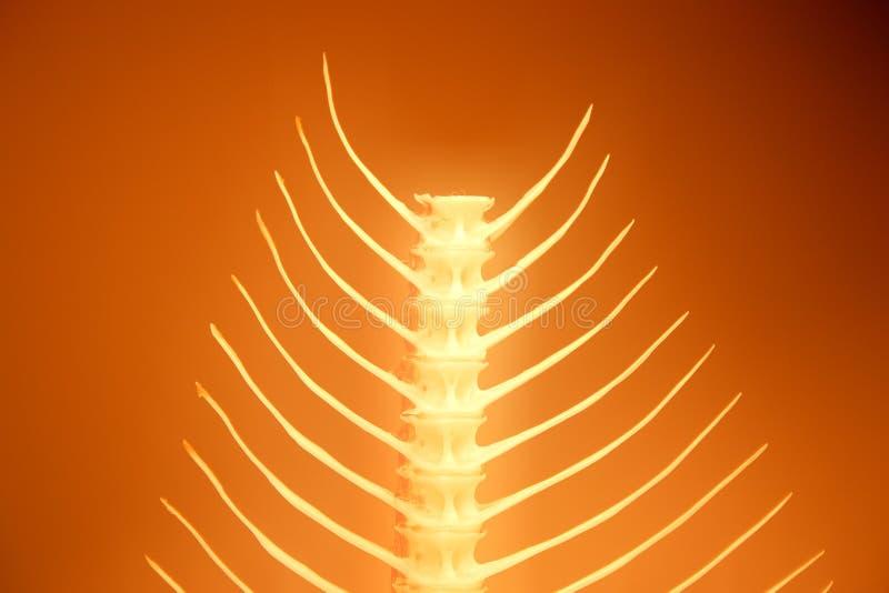 Download Fishbone series stock image. Image of fish, detail, bones - 38669