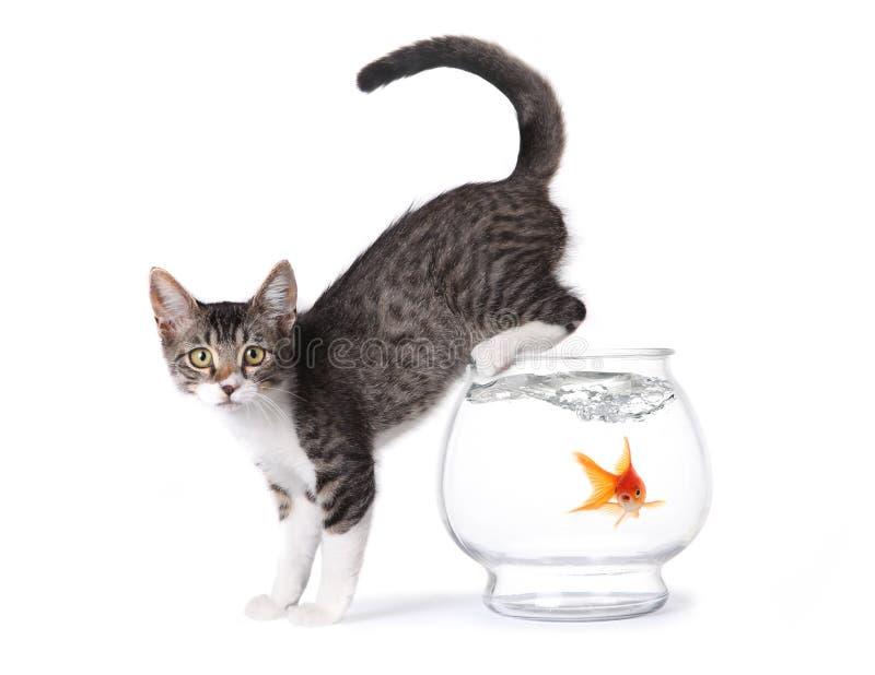 fishbowlkattunge royaltyfri foto