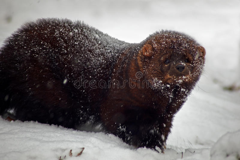 Fisher animal in snow stock photography