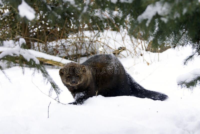 Fisher-Portrait im Schnee stockfoto