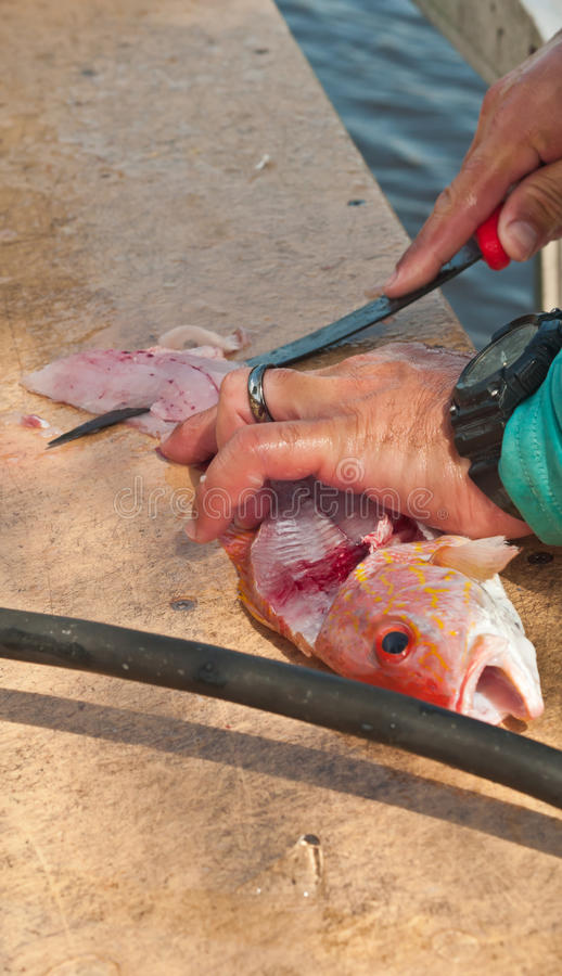Fisherman filleting and skinning a red snapper. With a sharp filleting knife at a ceaning station in a troical harbor on the Gulf of Mexico royalty free stock image