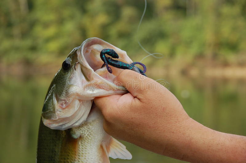 Fisherman holding Bass closeup. Fisherman holding a large mouth bass closeup stock image