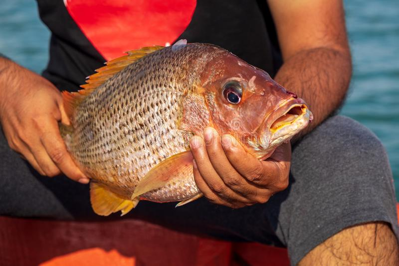 Fisherman Holding Medium Size Snapper Fish After Catch form the Sea stock photography