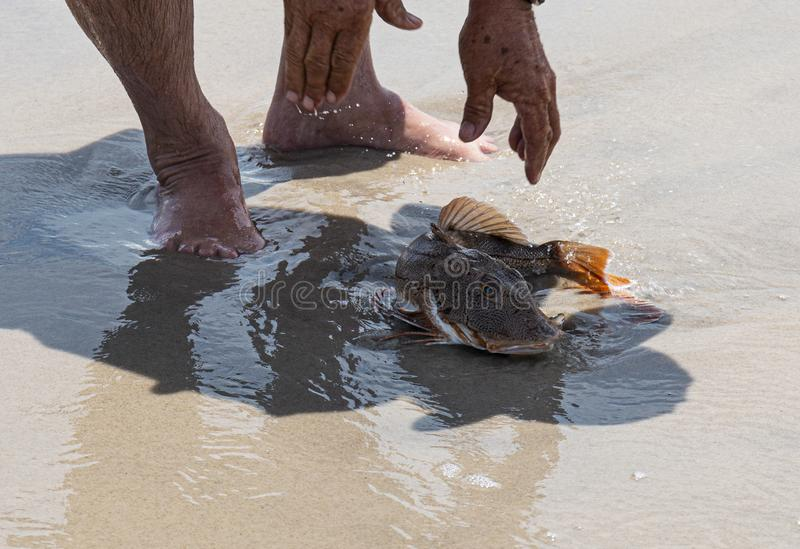 Sea Robin fish being let go on the beach royalty free stock images