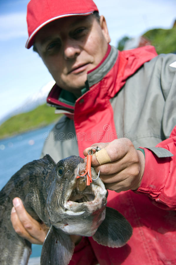 Fisherman with wolffish. Half body portrait of middle aged fisherman holding caught Atlantic Wolffish with hook in mouth royalty free stock image