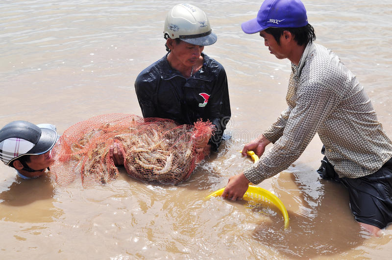 Fishermen are harvesting shrimp from their pond by fishing nets in Bac Lieu city stock photography