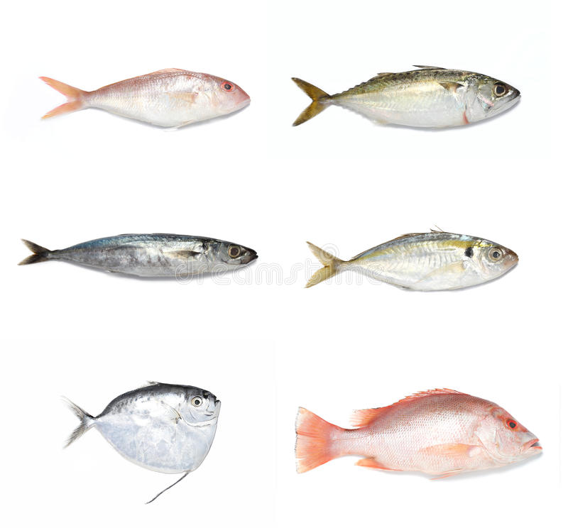 Download Fishes stock photo. Image of pomfret, sardine, kembong - 12421892