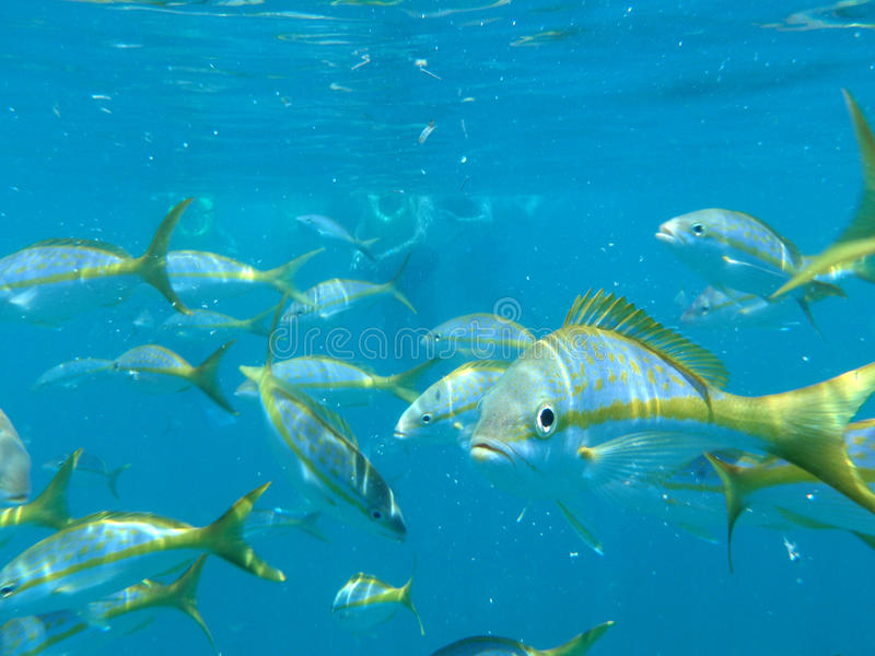 Download Fishes stock photo. Image of fishes, snorkel, curious - 14548800