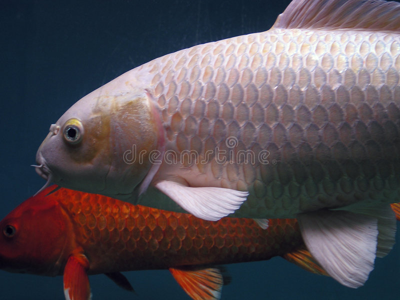 Download Fishes stock image. Image of freshwater, swimming, aquarium - 21165
