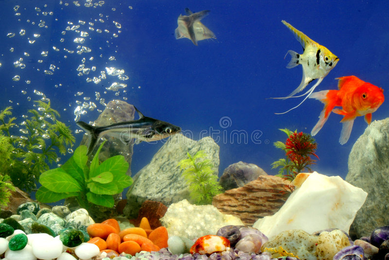 Fishes in the aquarium. Beautiful fishes in the aquarium with leaves and rocks