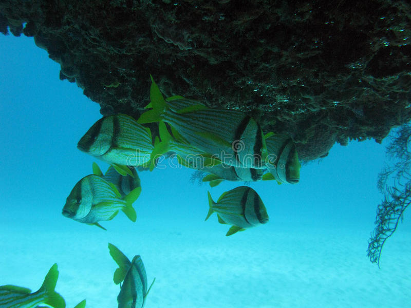 Fishes in Caribbean Mexico royalty free stock images