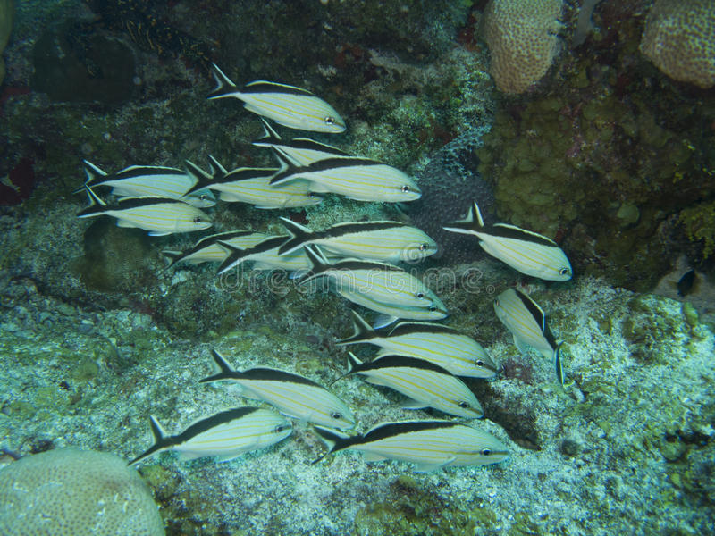 Fishes in Caribbean Mexico royalty free stock photo