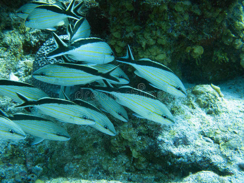 Fishes in Caribbean Mexico royalty free stock photos