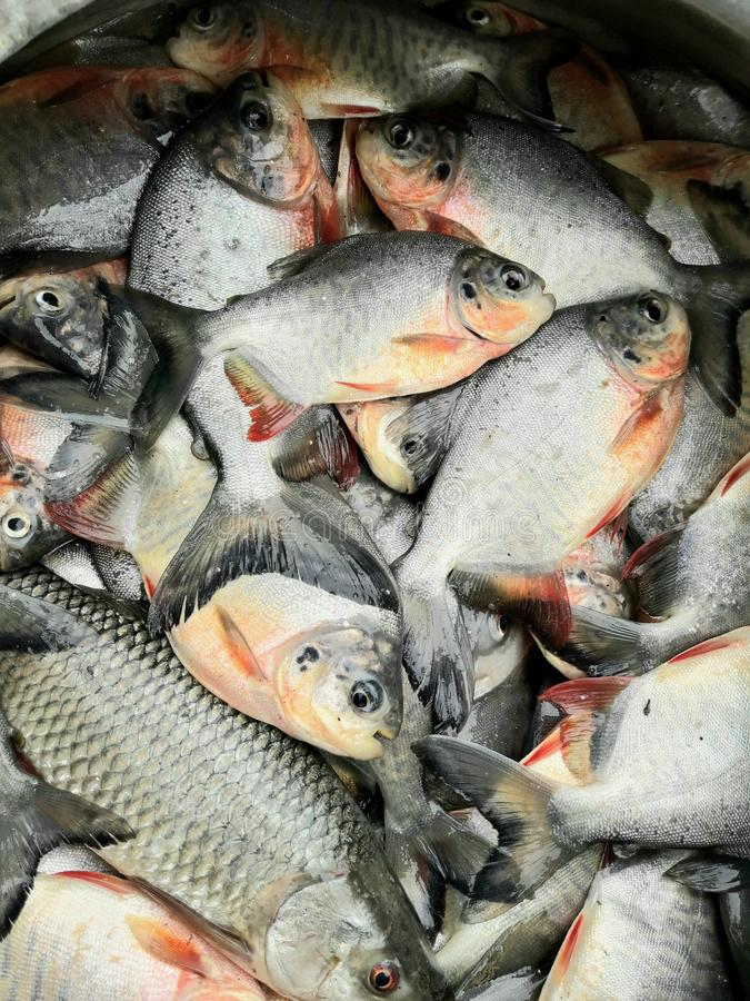 Fishes after caught. Fresh, alive, large, number, whie, red, fin, tail, people, outdoor, light, odisha royalty free stock image