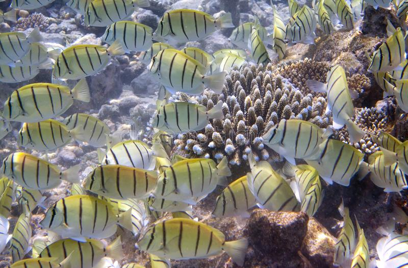 Fishes in corals. Maldives. Indian ocean stock image