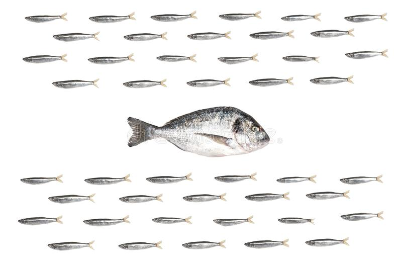 Fishes in group. Leader swim in opposite direction. Isolated on white stock photo