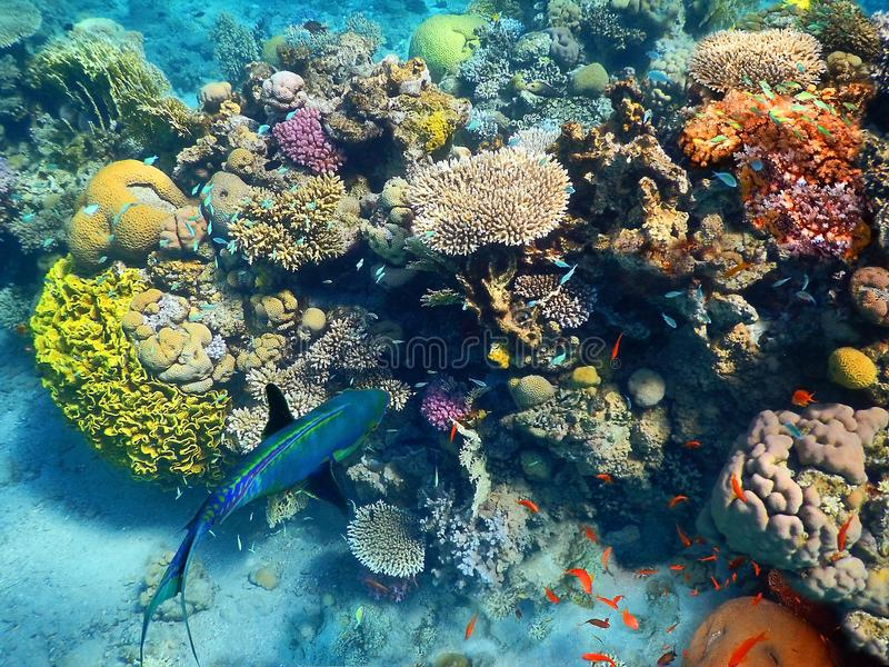 Fishes living in the coral of the Red Sea, Eilat, Israel. Big fish swims underwater amid the beautiful coral and colorful tropical fishes in Red Sea, Eilat royalty free stock photo