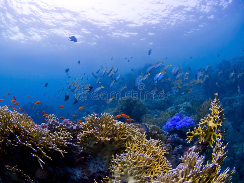 Download Fishes At Underwater Coral Reef Royalty Free Stock Photos - Image: 9351018