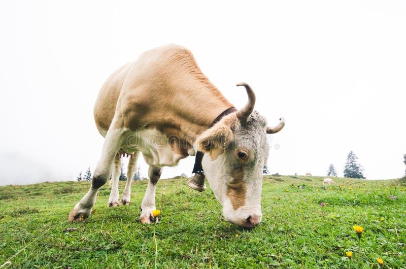 Fisheye射击了一头吃草的母牛 库存照片