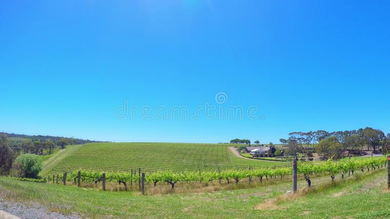 Fisheye view of rows of grape vines, in McLaren Vale, South Australia. royalty free stock images