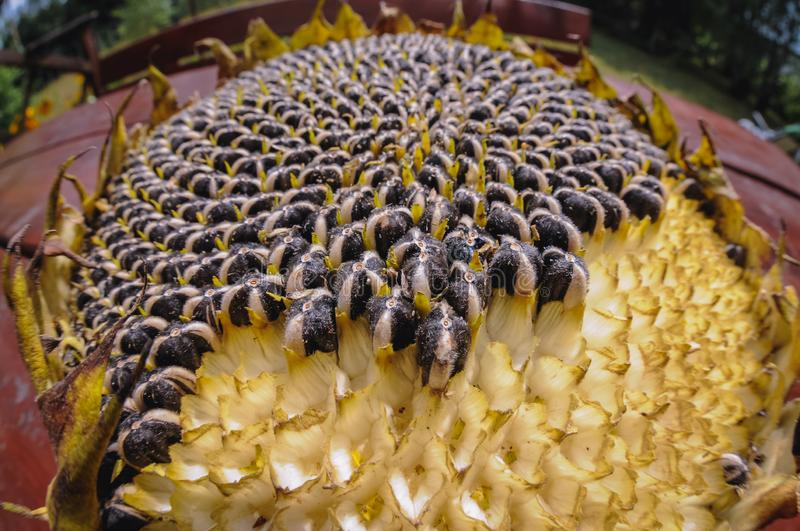 Sunflower on a table. Fisheye view on a sunflower on a wooden table royalty free stock image