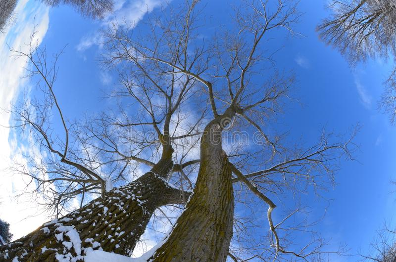 Fisheye view of trees from ground to sky royalty free stock photo