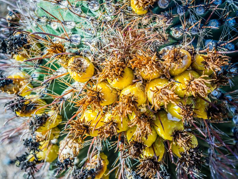 Fishhook Barrel Cactus in Saguaro National Park, Arizona. A large yellow spiny cactus that curve into a fishhook shape in Saguaro National Park royalty free stock photography