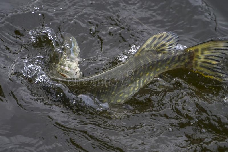 Caught pike fish trophy in water with splashing. Fishing background. Fishing background. Caught pike fish trophy in water with splashing royalty free stock image