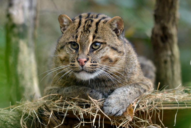 Download Fishing Cat stock photo. Image of furry, perch, wild - 27649828