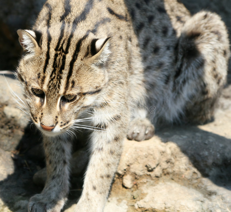 Download Fishing Cat stock image. Image of leopard, watch, carnivore - 2836801
