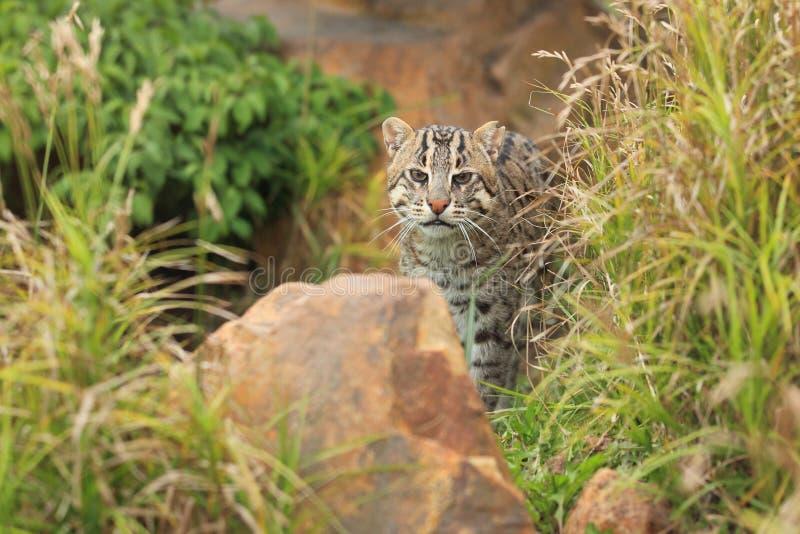 Download Fishing cat stock photo. Image of rock, animal, prionailurus - 28499378