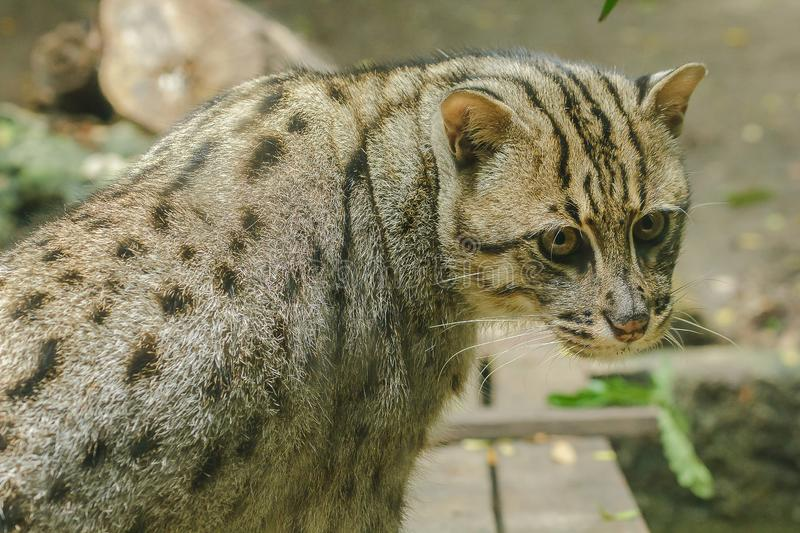 Fishing cat is looking at something that is interesting. stock image