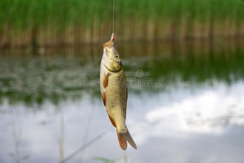 Fishing Caught crucian carp on a hook royalty free stock photo