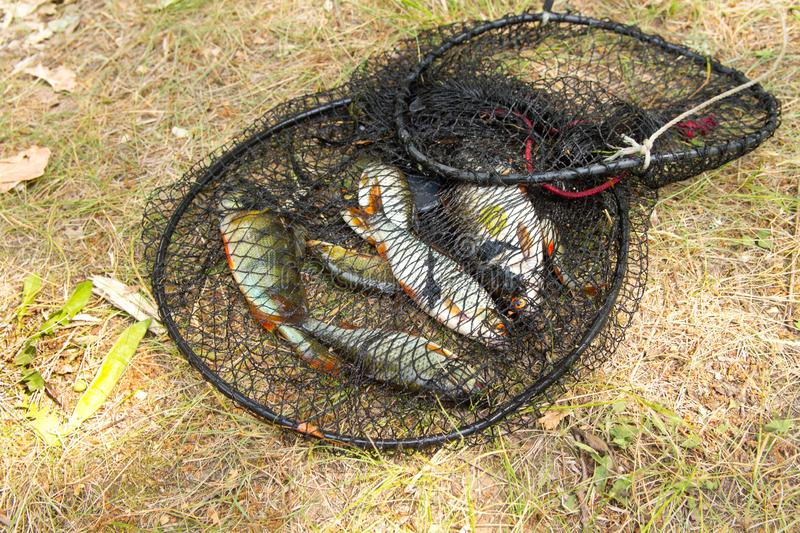 Fishing concept. Freshwater fish in the cage. Catch, river, lake, animal, trophy, leisure, bream, net, nature, outdoor, sport, big, bag, angling, natural, carp stock photos